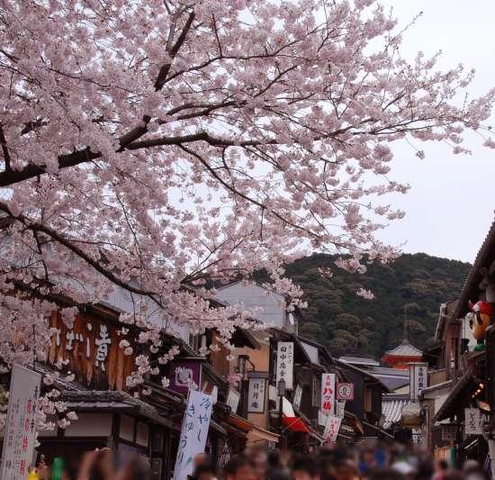 清水坂 桜