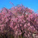 京都桜花見おすすめ