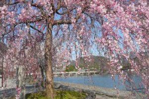 嵐山 中之島桜