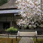 常照皇寺 八重桜