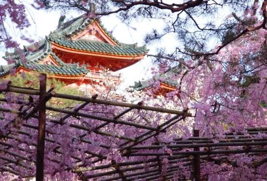 平安神宮 神苑のしだれ桜