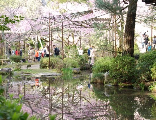 平安神宮の桜 見ごろ