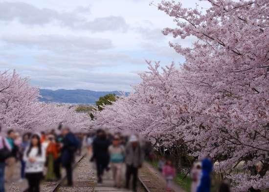 蹴上インクライン 混雑 桜