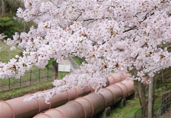 蹴上送水管と桜