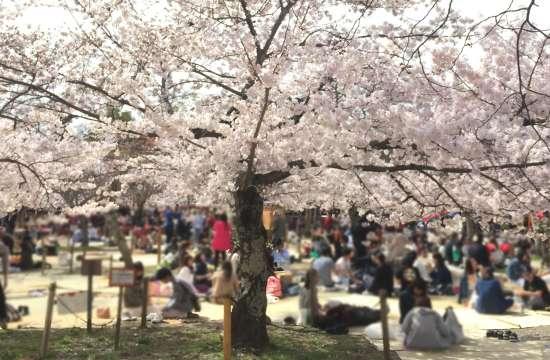 円山公園 花見場所取り