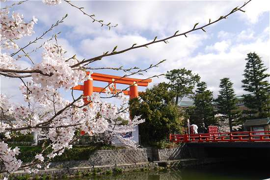 岡崎の桜と赤鳥居