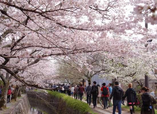 哲学の道 桜混雑