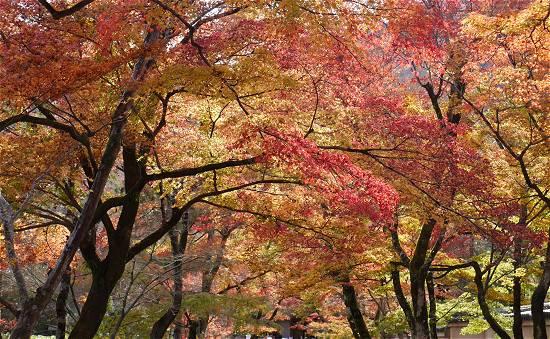 宝厳院 紅葉のトンネル