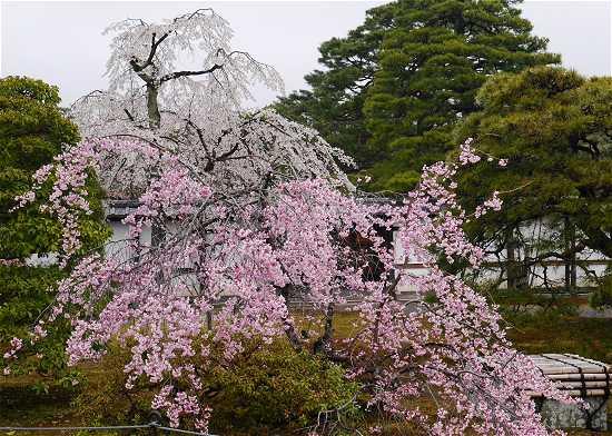 京都御所 一般公開桜