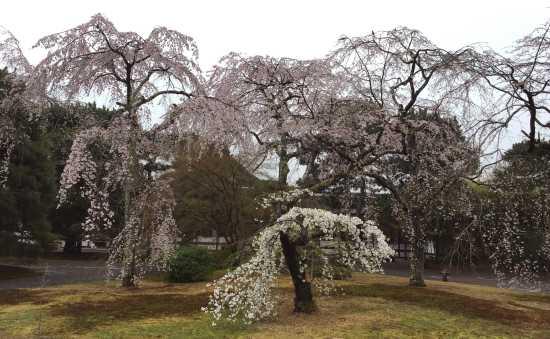 京都御所 枝垂桜